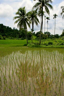 Rice paddies in Bangladesh field,rice,Bangladesh,forests,paddies,verticals,rainforests,crop,agriculture,palm,palms,wetlands,water,rice paddy