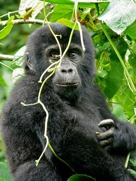 A juvenile gorilla (Gorilla beringei) in Uganda's forest africa,wild,animal,animals,gorilla,wildlife,uganda,forests,rainforests,juvenile,infant,young,gorillas,primate,primates,close up,close-up,in tree,looking towards camera,great ape,great apes,Mammalia,Ma