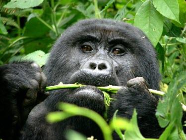 A gorilla (Gorilla beringei) eating in Uganda's forest africa,wild,animal,animals,gorilla,wildlife,uganda,forests,rainforests,gorillas,primate,primates,eating,feeding,looking towards camera,close up,close-up,great ape,great apes,Mammalia,Mammals,Chordates