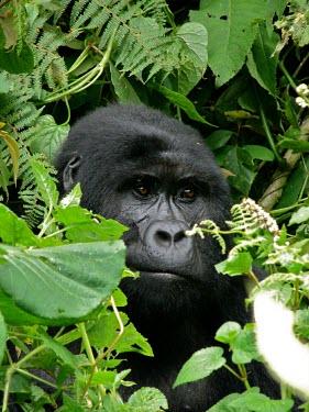 A gorilla (Gorilla beringei) in Uganda's forest africa,wild,animals,horizontal,forest,gorilla,gorillas,wildlife,uganda,rainforests,adult,male,primate,primates,close-up,close up,face,portrait,foliage,undergrowth,great ape,great apes,Mammalia,Mammals