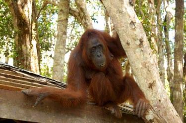 A female orangutan trees,roof,animals,horizontal,female,indonesia,central,orangutan,forests,kalimantan,tanjung puting,national park,adult,primate,primates,orangutans,great ape,great apes,Mammalia,Mammals,Chordates,Chord