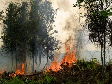 Forest fires are mostly caused by human activity horizontal,forest,indonesia,fire,smoke,fires,forest fires,forest fire,kalimantan,palangkaraya,burnt,black,blackened,destruction,habitat destruction,human activity,fog,cifor