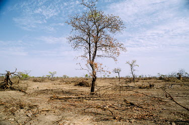Cleared land for agriculture Africa,tree,horizontal,branch,dry,climate change,Ouagadougou,Burkina Faso,deforestation,land,nebbou,clearance,cleared,agriculture,branches,wood,pile,CIFOR,forest research,adaptation,production forests