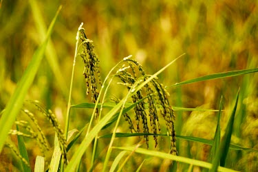 Paddy rice field food,field,rice,paddy,food security,seeds,plant,plants,harvest,crop,agriculture,agricultural,green,gold,shallow focus