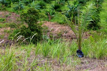 Oil palm plantation horizontal,climate change,east kalimantan,oil palms,plantation,palm,oil,palms,nursery,planting,plant,plants,Plantae,negative space,copy space