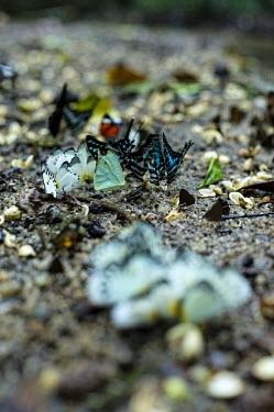 Butterflies on the Yoko Reserve africa,animals,butterfly,butterflies,insect,insects,reserve,congo,yoko,Yoko Reserve,drc,rdc,democratic republic of congo,kisangani,feeding,eating,soil,shallow focus,profile,colourful