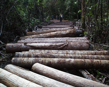 Logs to be transported to the log yard, Indonesia people,horizontal,indonesia,cut,logs,logging,forest,forests,climate change,rainforest,rainforests,trunk,trunks,timber,deforestation