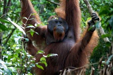 A male orangutan male,adult,animals,horizontal,indonesia,orangutan,forests,kalimantan,tanjung puting,primate,primates,hang,hanging,orangutans,portrait,smile,great ape,great apes,Mammalia,Mammals,Chordates,Chordata,Pri