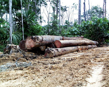 Logs to be transported to the log yard, Indonesia horizontal,forest,indonesia,flickr,logs,logging,climate change,excavator,timber,destruction,forests,rainforest,rainforests,earth,track,wood,pile,tree trunks,trunks,deforestation