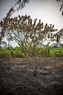 Slash and burn agriculture africa,burning,crops,congo,practices,drc,deforestation,rdc,democratic republic of congo,slash burn,slash and burn,lukolela,farming,preparation,scorched,earth