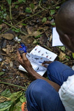Scientist examines an African Pygme Kingfisher africa,people,bird,birds,forest,flickr,research,scientists,democratic republic of congo,kisangani,ispidina picta,yoko forest reserve,african pygme kingfisher,Animalia,Chordata,Aves,Coraciiformes,Alced