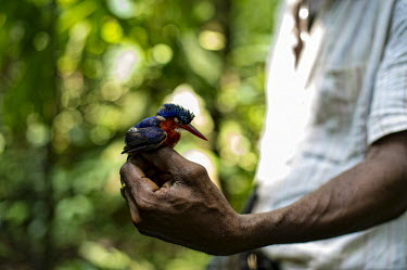 Scientist examines an African Pygme Kingfisher africa,people,bird,birds,forest,research,scientists,democratic republic of congo,kisangani,ispidina picta,yoko forest reserve,african pygme kingfisher,Animalia,Chordata,Aves,Coraciiformes,Alcedinidae,