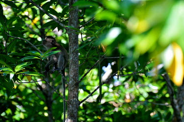 Study on biomass in mangrove forest tree,animal,horizontal,indonesia,monkey,monkeys,leaf,primate,east,mangrove,environment,mammals,climate change,kalimantan,kubu,forest,forests,in tree,undergrowth