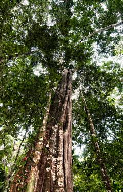 The Unamat forest Peru,horizontal,forest,Amazon,scenery,spanish,land,environment,per,climate change,climate,amazonas,puerto maldonado,horizontals,madre de dios,brasilian nut,nuez brasilera,trees,tree,forests,tree trunk