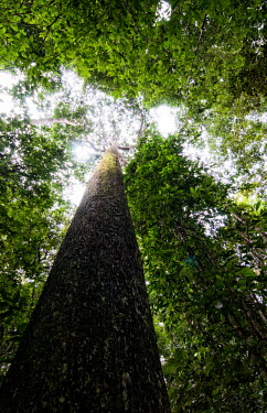 Brazil nut tree in the Unamat forest tree,trees,Peru,forest,forests,Amazon,scenery,Spanish,land,environment,big tree,per,climate change,climate,verticals,puerto maldonado,madre de dios,brazillian nut,brazil nut,Unamat forest,Brazil-nut t