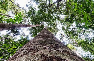 Copaifera L. tree has many uses including using the oil as a biodiesel tree,Peru,horizontal,forest,amazon,scenery,spanish,land,environment,big tree,per,climate change,climate,puerto maldonado,horizontals,madre de dios,Plantae,Tracheophyta,Magnoliopsida,Fabales,Leguminosa