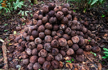 Brazil nut fruits ready to be hacked open to extract the nuts food,tree,trees,fruit,pile,peru,horizontal,forest,leaf,amazon,scenery,nuts,spanish,land,environment,activity,per,climate change,climate,activities,puerto maldonado,horizontals,brazil nuts,madre de dio