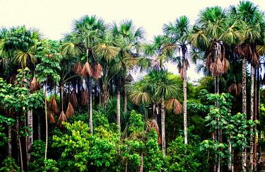 Mauritia flexuosa is important to the ecology and economy of the Peruvian amazon tree,Peru,horizontal,forest,amazon,scenery,spanish,land,environment,per,climate change,climate,puerto maldonado,horizontals,madre de dios,Peruvian amazon,moriche palm,it� palm,ita,buriti,muriti,canang