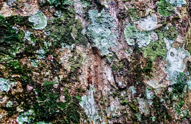 Close up of bark tree,trees,Peru,horizontal,forest,amazon,scenery,spanish,bark,land,environment,big tree,per,climate change,climate,puerto maldonado,horizontals,madre de dios,lichen,moss,close up,close-up,amazonas,bra