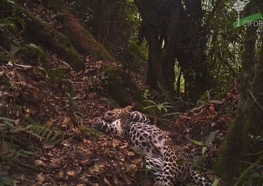 A Javan leopard caught on a camera trap animal,Indonesia,national park,Gunung Halimun-Salak National Park,wildlife,conservation,leopard,biodiversity,leopards,big cat,big cats,mammals,cat,cats,Critically Endangered,forest,forests,camouflage,
