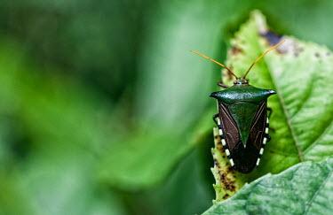 Bug in Unamat forest tree,peru,animal,animals,horizontal,leaf,scenery,spanish,land,environment,per,climatechange,climate,amazonas,biodiversity,puertomaldonado,horizontals,madrededios,brazilnut,cifor,nuezbrasilera,Asociaci