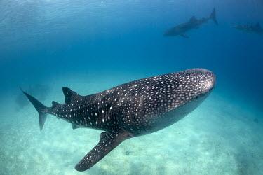 Whale shark shark,philippines,cebu,whale shark,rhincodontypus,carpetsharks,orectolobiformes,rhincodontidae,oslob,sharks,fish,Sharks, Rays,Elasmobranchii,Rhincodontidae,Chordates,Chordata,Carpet Sharks,Orectolobif