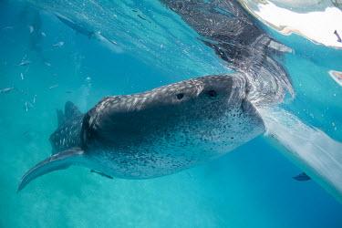 Whale shark feeding shark,philippines,cebu,whale shark,rhincodontypus,carpetsharks,orectolobiformes,rhincodontidae,oslob,sharks,feeding,Sharks, Rays,Elasmobranchii,Rhincodontidae,Chordates,Chordata,Carpet Sharks,Orectolo