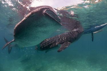 Two whale sharks feeding on shrimp thrown into the water shark,philippines,cebu,whale shark,rhincodontypus,carpetsharks,orectolobiformes,rhincodontidae,oslob,sharks,feeding,Sharks, Rays,Elasmobranchii,Rhincodontidae,Chordates,Chordata,Carpet Sharks,Orectolo