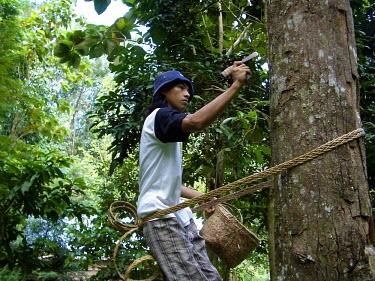 A man taps a tree for sap Indonesia trees,people,man,horizontal,indonesia,plantation,forests,rubber tree,rainforests,rubber,rubber production,deforestation,industry,alternative livelihood,sap,livelihood