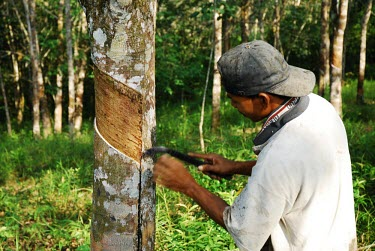 A man does rubber-tapping on a rubber tree plantation trees,people,man,horizontal,indonesia,plantation,forests,rubber tree,rainforests,rubber,rubber production,deforestation,industry,alternative livelihood,sap,livelihood
