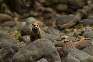 Crab-eating mongoose in river mongoose,India,portrait,peeking,looking,rocky,Gorumara National Park,Mammalia,Mammals,Chordates,Chordata,Carnivores,Carnivora,Herpestidae,Mongooses, Meerkat,Asia,Terrestrial,IUCN Red List,Animalia,Lea