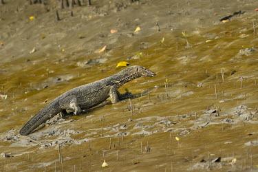 Asian water monitor lizard searching for prey Mudflat,mud,mudflats,lizards,lizard,mangrove,mangrove forest,foraging,forage,predator,hunting,hunt,Varanidae,Monitors,Chordates,Chordata,Squamata,Lizards and Snakes,Reptilia,Reptiles,Terrestrial,Anima
