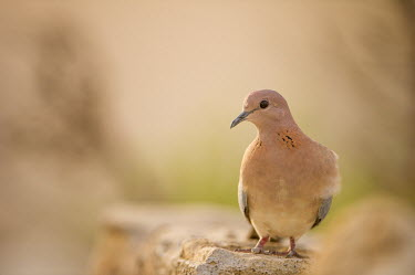 Laughing dove sitting on wall bird,dove,laughing dove,laughing,peach,mellow,peaceful,wall,perch,perched,birds eye,plumage,birds,Pigeons, Doves,Columbidae,Chordates,Chordata,Aves,Birds,Pigeons and Doves,Columbiformes,Agricultural,s