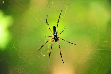 A Madagascan orb spider waiting in its web spider,orb spider,golden orb spider,red legged spider,madagascan spider,weaver,web,spider web,legs,predator,patience,trap,hairy,macro,close-up,minibeast,abdomen,arachnid,arachnids,pattern,engineer,mad