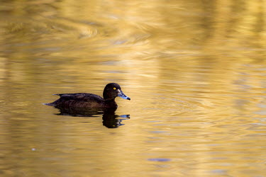 Female tufted duck gently ripples the water tufted duck,duck,lake,water,pond,wetland,reflection,eye,yellow eye,bill,female duck,female,female tufted duck,wildfowl,aquatic,bird,birds,birdlife,plumage,paddling,paddle,swimming,least concern,waterf