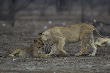 Lioness shows affection to her cub lion,big cat,cat,female lion,mother and cub,motherhood,caring,cub,parenting,parental,lioness,Africa,African,national park,predator,apex predator,carnivore,safari,cats,vulnerable,wild cat,wild,wildlife