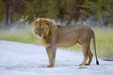 A juvenile male lion glares down the road lion,big cat,cat,mane,male,male lion,road,roadside,Africa,African,predator,apex predator,carnivore,safari,cats,vulnerable,wild cat,wild,Panthera leo,Felidae,Cats,Mammalia,Mammals,Carnivores,Carnivora,