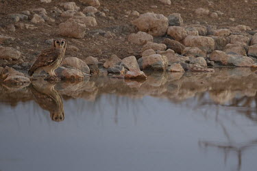 Resident giant eagle owl down for a drink at Okaukuejo waterhole owl,eagle owl,giant owl,giant eagle owl,bird,bird of prey,birds,birdlife,Africa,Namibia,waterhole,wateringhole,water,reflection,predator,talons,eyes,nocturnal,park,national park,Etosha,Giant eagle-owl
