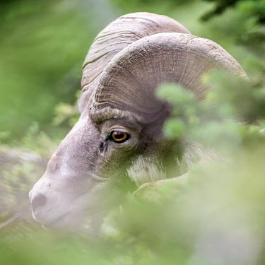 Bighorn sheep amongst the foliage of Glacier National Park sheep,bovid,horns,eyes,glacier park,Rockies,close-up,face,horn,ram,ungulate,America,USA,wildlife,Bighorn sheep,Ovis canadensis,Chordates,Chordata,Mammalia,Mammals,Bovidae,Bison, Cattle, Sheep, Goats,
