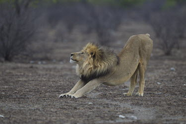 A male lion displays his flexibilty, stretching lion,big cat,cat,mane,male,male lion,road,roadside,Africa,African,predator,apex predator,carnivore,safari,cats,vulnerable,wild cat,wild,wildlife,Namibia,Etosha,yoga,stretch,flex,flexible,relax,unwind,