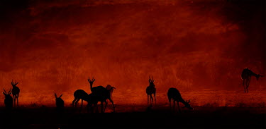 Springboks in the Kalahari springbok,ungulate,springboks,morning,Africa,desert,sunrise,dawn,orange,red,redsky,pronk,pronking,behaviour,silhouette,terrestrial,herbivore,herbivores,herbivorous,jumping,jump,herd,Sprinbok,Antidorca