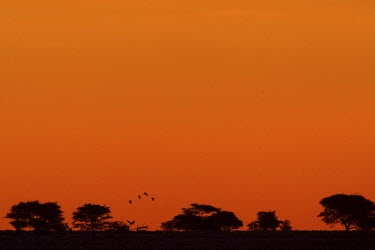 Crows mobbing a vulture white-backed vulture,Gyps africanus,vulture,scavenger,scavengers,mobbed,crows,crow,behaviour,defense,fight,mob,mobbing,aerial,air,bird,birds,birdlife,sunset,tree line,trees,silhoutte,dusk,landscape,ho