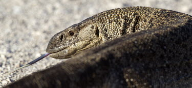 Angola monitor lizard flicking its tongue Angolan white-throated monitor,Varanus albigularis angolensis,Varanus albigularis,monitor,monitor lizard,lizards,lizards and snakes,reptile,reptiles,tongue,scales,scaly,arid,dry,scavenger,scavenge,pre