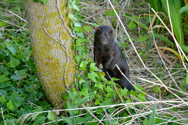 American mink cautiously watching from the base of a tree in France mink,vison,invasive species,minks,carnivores,carnivore,mustelids,mustelid,ivy,vine,France,French,invader,fur,fur trade,mammal,American Mink,Neovison vison,Carnivores,Carnivora,Weasels, Badgers and Ott
