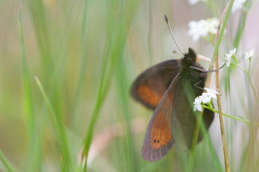 R�tzer�s ringlet butterfly resting among the grass alpine,alps,animals,biodiversity,butterflies,butterfly,christi,close-up,macro,vulnerable,entomology,erebia,habitat,insects,iucn,life,mountain,nature,pattern,rare,ratzer,r�tzers,ringlet,wild,wildlife,w
