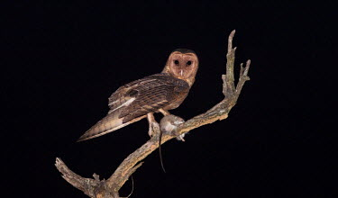 An adult male Australian masked owl perching with a fresh kill bird,birds,birdlife,avian,aves,wings,flight,feathers,nocturnal,nocturn,Strigidae,Tytonidae,owl,owls,Australia,Australian,talons,claws,eyes,night time,startled,alarmed,plumage,rat,rodent,kill,dinner,su