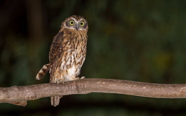 Southern boobook perching on a branch bird,birds,birdlife,avian,aves,wings,flight,feathers,nocturnal,nocturn,Strigidae,Tytonidae,owl,owls,Australia,Australian,talons,claws,eyes,night time,startled,alarmed,plumage,least concern,Southern bo