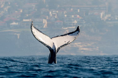 The iconic fluke of a humpback whale tail,tail fin,fluke,tail slap,humpback,humpback whale,whale,whales,whales and dolphins,cetacean,cetaceans,fins,fin,dorsal,dorsal fin,marine,marine life,sea,sea life,ocean,oceans,water,underwater,aquat