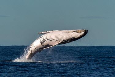 Humpback whale breaching breach,breaching,behaviour,jumping,slap,natural wonder,fall,big,belly,humpback,humpback whale,whale,whales,whales and dolphins,cetacean,cetaceans,fins,fin,dorsal,dorsal fin,marine,marine life,sea,sea