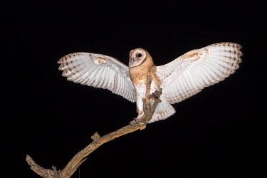 Juvenile female Australian masked owl spreading its wings bird,birds,birdlife,avian,aves,wings,flight,feathers,nocturnal,nocturn,Strigidae,Tytonidae,owl,owls,night time,bird of prey,birds of prey,predator,talons,carnivore,hunter,juvenile,female,black,dark,wi